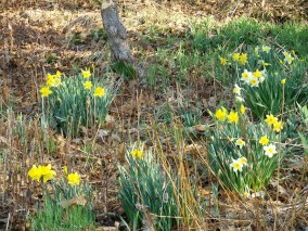 Daffodills on April 3, Pittsford, VT