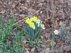Daffodils - March 22, 2012