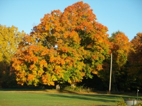 Vermont maple tree after a frost in fall.