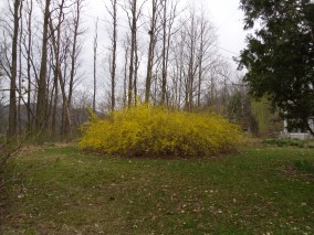 Forsythia - March 24, 2012