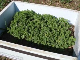 Kale - March 22, 2012